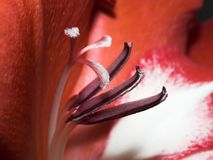 Stamen of Gladiolus  Royalty Free Stock Photography