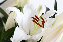 Stamen i pistil białego kwiatu Lilium candidum, zakończenie w górę lily madonna świeże kwiaty naturalnemu zdjęcie stock