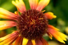 Stamen kwiat jest ciemny - czerwień i kolor żółty z pollen Obraz Stock