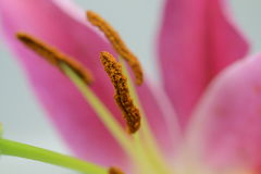 Stamen. Of lily .the  is the pollen-producing reproductive organ of a flower royalty free stock image