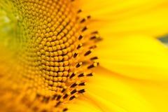Stamen or pistil in sunflower Stock Photo
