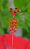 Stamen и pistils Hibiscus Стоковое Изображение RF