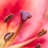 Stamen Surface. A close-up of the stamen of an oriental lily stock photography