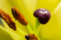 Stamen Stock Photography