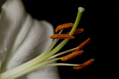 The stamen of a white lily Royalty Free Stock Images