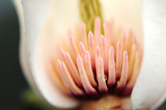 Stamen of white magnolia flower Stock Photo