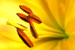 Stamen of yellow flower Stock Photo