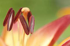 Stamens Royalty Free Stock Images