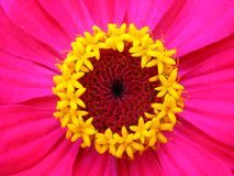 Yellow stamens of crimson zinnia. Macro Royalty Free Stock Image