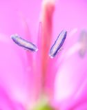 Stamens Royalty Free Stock Photography