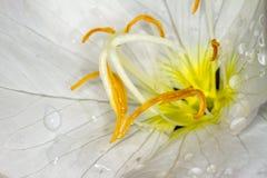 Stamens con nettare in una fotographia di macro del fiore immagini stock
