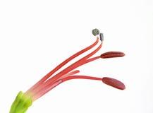 Stamens del fiore fotografie stock