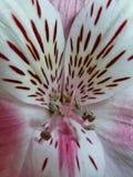 Stamens del fiore bianco fotografie stock