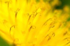 Stamens del fiore del dente di leone fotografie stock