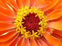 Stamens gialli della zinnia arancio. Macro immagine stock libera da diritti