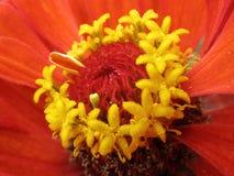 Stamens gialli della zinnia rossa. Macro Immagini Stock Libere da Diritti