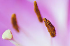 Stamens lilies Stock Photos