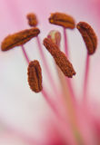 Stamens and pestle of a pink lily Stock Photos