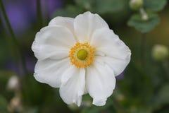 Stamens van anemome Honorine Jobert bloeien royalty-vrije stock afbeelding