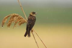 Stamina con testa nera che si leva in piedi in pioggia Fotografie Stock