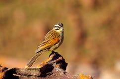 Uccelli africani del sud Fotografia Stock