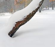 Stamm der alten Weide, die mit Schnee aufgefüllt wird Stockbild