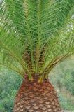 Stamm der Palme tropische Beschaffenheit Lizenzfreies Stockfoto