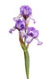 Stamm der purpurroten Blendenblumen getrennt auf Weiß Lizenzfreies Stockfoto
