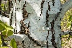 Stamm der weißen Birke im Vordergrund lizenzfreie stockfotografie