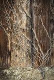 Stamm des Efeus ist auf einer alten hölzernen Wand Stockfoto
