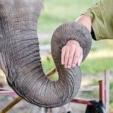 Stamm des Elefanten Stockbild