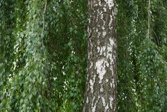 Stamm des grauen Weiß eines Suppengrüns mit grünen Niederlassungen im Laub Lizenzfreies Stockbild