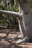Stamm des Silk Baums Samohu-Glasschlacke stockbilder