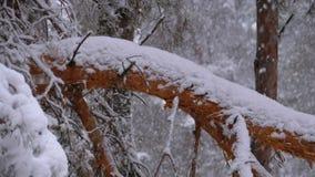 Stamm einer Kiefers im Wald bedeckt mit Schnee im Winter während Schneefälle Langsame Bewegung stock footage
