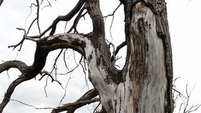 Stamm eines alten trockenen Baums Naturänderungen Bäume sterben, Wald verschwindet Ökologische Katastrophe Wasser-Knappheit globa stock video