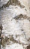 Stamm eines Birkenabschlusses oben lizenzfreies stockbild