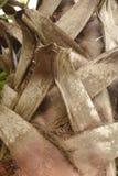 Stamm eines Dattelpalmebaums Stockbild
