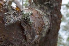 Stamm eines Gumbo-Überhangsbaums in tropischem Florida mit Schalen-Barke und Lichen Details stockbilder