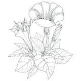 Stamm mit Stechapfel stramonium oder Dornenapfel Giftpflanze Blume, Blätter und Knospe lokalisiert auf weißem Hintergrund Lizenzfreie Stockbilder