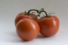Stamm-Tomaten lizenzfreie stockbilder