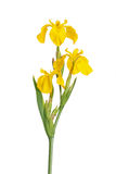 Stamm und Blumen von Blende pseodacorus Lizenzfreies Stockfoto