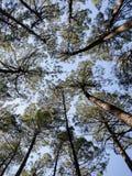 Stamm und Krone der Kiefern von der Basis der Bäume lizenzfreies stockbild