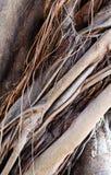 Stamm und Wurzeln des alten Ficus (Hintergrund) Stockbild