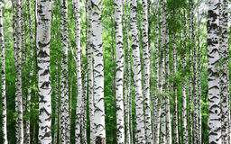 Stammar av björkträd i sommar Royaltyfri Foto