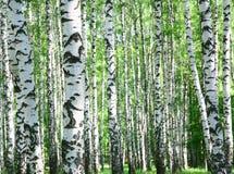 Stammar av björkträd i vår arkivfoton