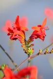 Stammar av röd freesia Royaltyfria Foton