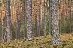 Stammar av sörjer träd Djup av en skog i sommardag Royaltyfri Foto