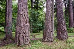 Stammar av träd för mycket stor diameter arkivfoton