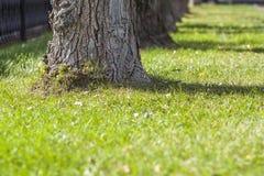 Stammar av träd i ett morgonsolljus parkerar perspektivsikt Raden av gamla stora träd i en stad parkerar på gräsmatta med grönt g arkivfoton