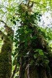 Stammar av träd som täckas med mossa och vinrankor royaltyfri fotografi